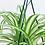 Thumbnail: Chlorophytum Comosum Variegata 'Spider Plant'