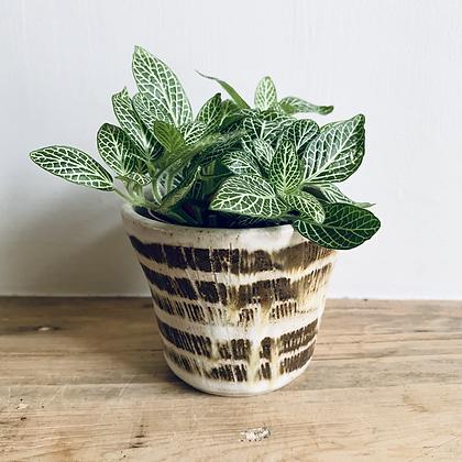 Fittonia Verschaffeltii 'Nerve Plant' Green