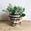 Thumbnail: Fittonia Verschaffeltii 'Nerve Plant' Green