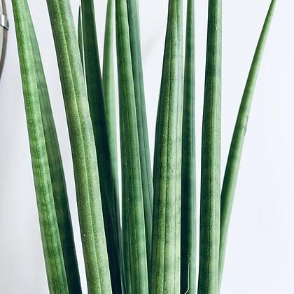 Sansevieria Cylindrica 'Mikado'