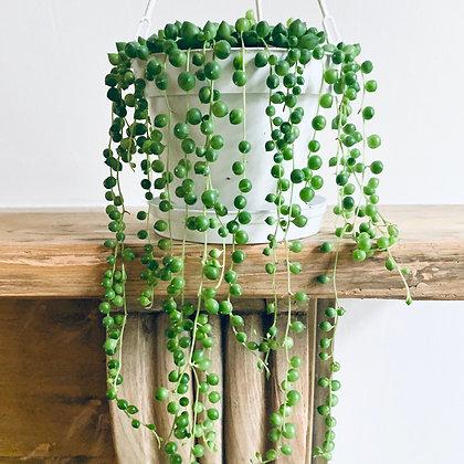 Senecio Rowleyanus 'String of Pearls'