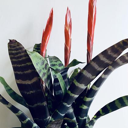 Bromeliad Vriesea Splendens 'Flaming Sword'