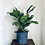 Thumbnail: Spathiphyllum Sweet Chico 'Peace Lily' XL