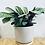 Thumbnail: Ctenanthe Amagris 'Never Never Plant'