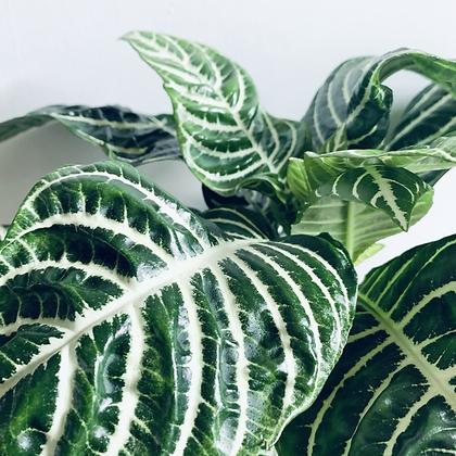 Aphelandra Squarrosa 'Zebra Plant'