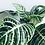 Thumbnail: Aphelandra Squarrosa 'Zebra Plant'