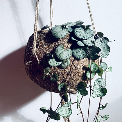 Ceropegia Woodii 'String of Hearts' in Coconut Hanger