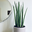 Thumbnail: Sansevieria Cylindrica 'Mikado'