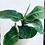 Thumbnail: Musa Tropicana 'Banana Plant'