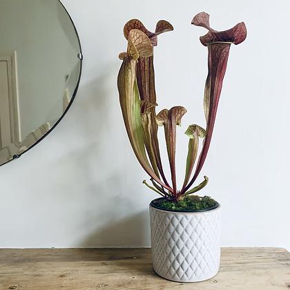 Sarracenia Rubra 'Sweet Pitcherplant'