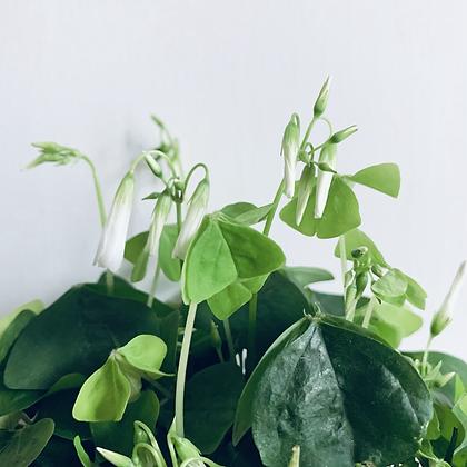 Oxalis Triangularis 'Shamrock Plant'