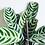 Thumbnail: Ctenanthe Burle-Marxii 'Never Never Plant'