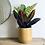 Thumbnail: Codiaeum Petra 'Croton Plant'