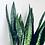 Thumbnail: Sansevieria Zeylanica 'Snake Plant' XL