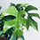 Thumbnail: Rhaphidophora Tetrasperma 'Split Leaf Philodendron'
