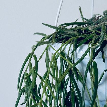 Hoya Linearis 'Wax Vine'