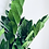 Thumbnail: Zamioculas Zamifolia 'ZZ Plant' XL
