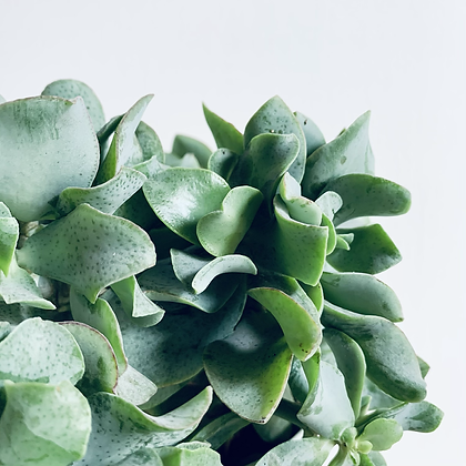 Crassula Aborescens Undulatifolia 'Curly Jade'