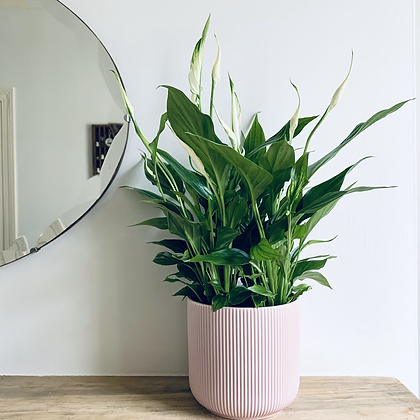 Spathiphyllum Bellini 'Peace Lily'