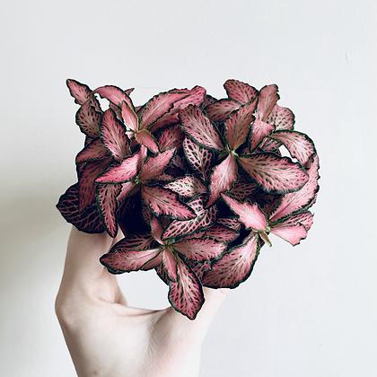 Fittonia Verschaffeltii 'Nerva Plant' Pink