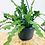 Thumbnail: Epiphyllum Anguliger 'Fishbone Cactus' Hanger