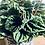 Thumbnail: Peperomia Caperata 'Lilian'