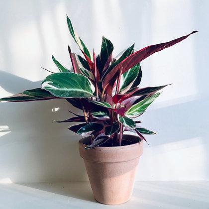 Stromanthe 'Triostar'