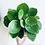 Thumbnail: Pilea Peperomioides 'Chinese Money Plant'