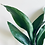 Thumbnail: Aspidistra Elatior 'Cast Iron Plant'