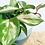 Thumbnail: Hoya Carnosa Tricolor 'Wax Vine'