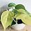 Thumbnail: Philodendron Scandens 'Brasil'