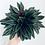 Thumbnail: Peperomia Caperata 'Rosso'