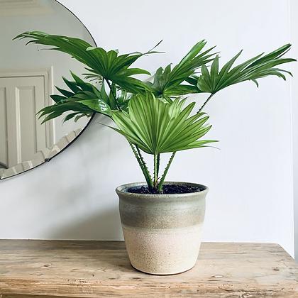 Livistona Rotundifolia 'Fan Palm'