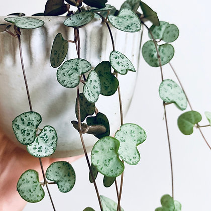 Ceropegia Woodii 'String of Hearts'