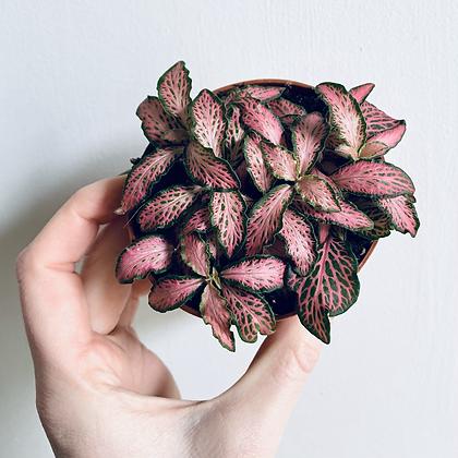 Fittonia Verschaffeltii 'Nerve Plant' Pink