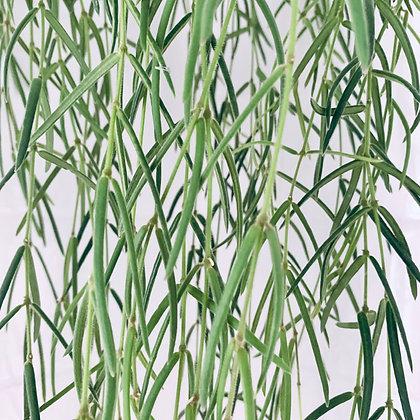 Hoya Linearis 'Porcelain Flower'