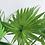 Thumbnail: Livistona Rotundifolia 'Fan Palm'