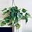 Thumbnail: Philodendron Scandens 'Brasil' Hanger