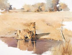 Lionesses drinking - GH006