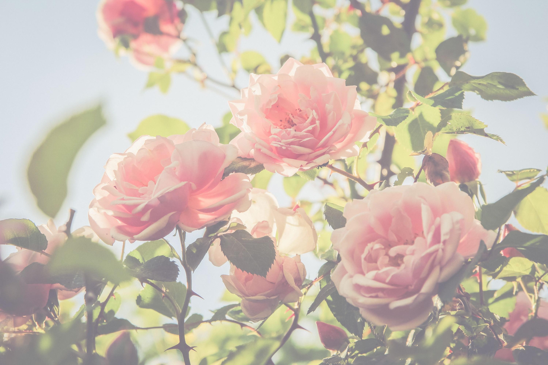 Rose 50