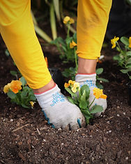 A crew member in a yellow long sleeved shirt plants a yellow pansy plug