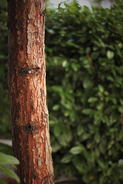 the red brown bark of an evergreen tree trunk contrasts with the dark green foliage in the background