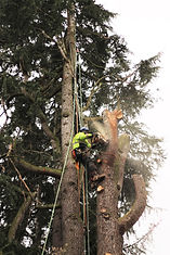 an arborist using a chainsaw to remove a section of tree trunk from a large cedar
