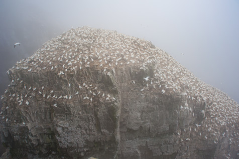 Gannet Colony - St. Mary's Ecological Reserve, Newfoundland