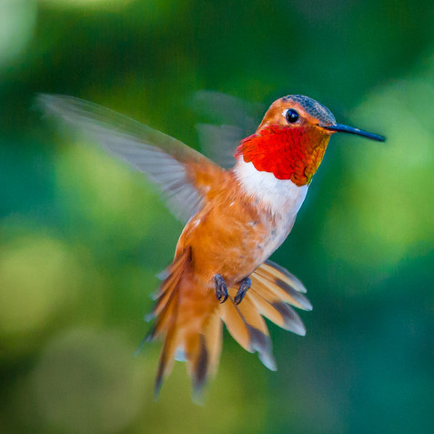Rufous Hummingbird - Western Colorado
