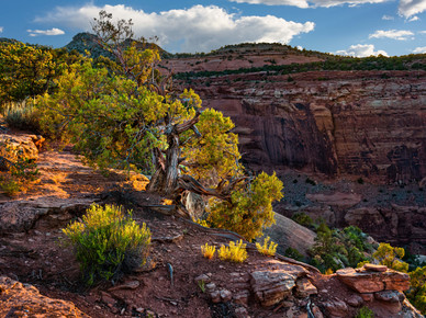 Juniper at Sunset - Colorado National Monument, Colorado