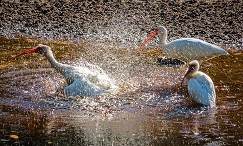 White Ibis Taking a Bath - Sanibel, Florida