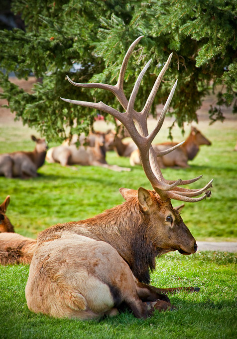 Bull Elk at Rest With His Harem - Estes Park, Colorado