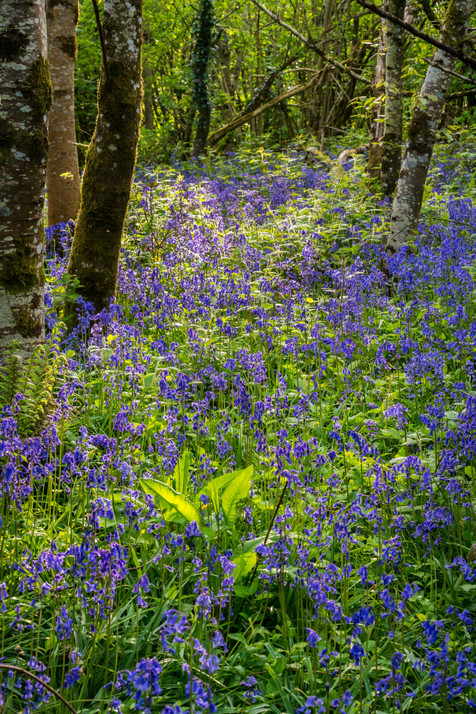 Bluebells in the Jenkinstown Woods - County Kilkenny
