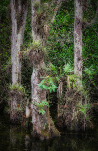Finding Order Amidst the Chaos of the Swamp - Big Cypress National Preserve, Florida